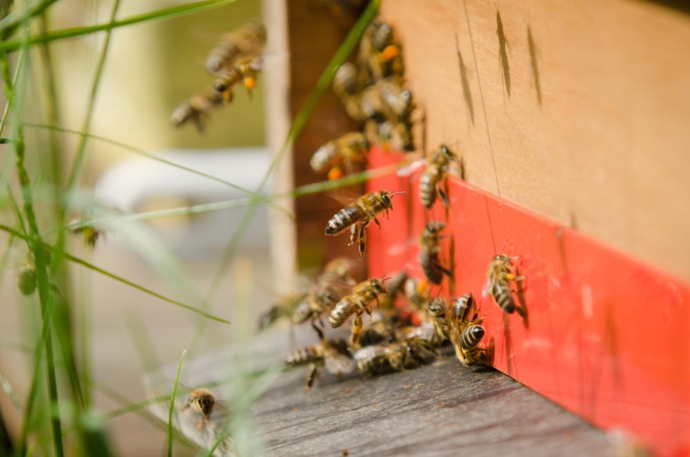 včelí dělnice