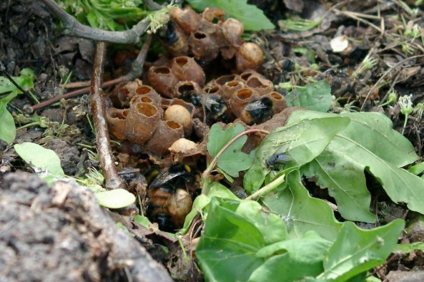 přezimování užitečného hmyzu, hnízdo čmeláků