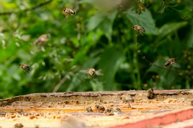 Včelky létavky