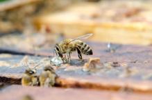 včely propolis sběr