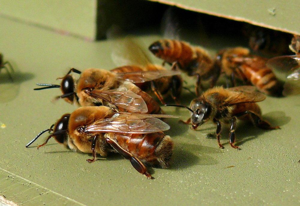 včelí trubci na česnu