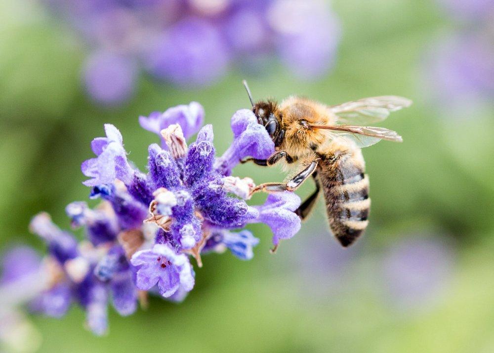 Medonosné rostliny, včela na levanduli, pleva