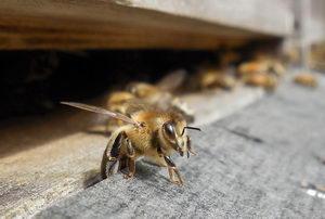 první vylétnutí včely z úlu