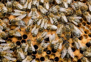 trubci a včelí dělnice na plástu